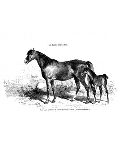 Gravure 18 - Race Anglo-Poitevine