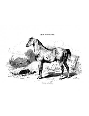 Gravure 20 - Trotteur du Norfolk